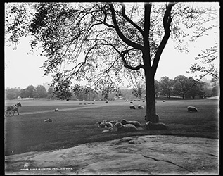 sheep-central-park